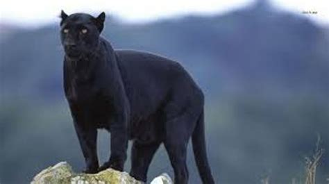 10 Facts about Black Panthers | Fact File