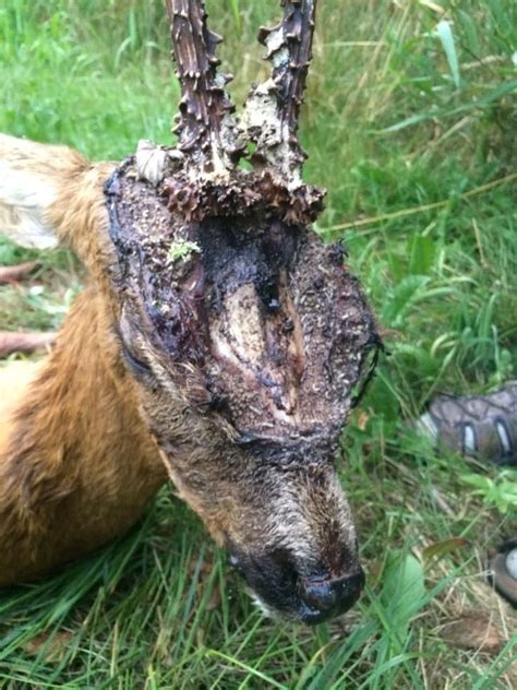 Deer still alive with maggots eating its forehead down to