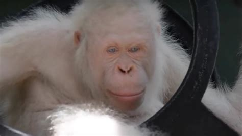 Albino animals are at such risk that people built an
