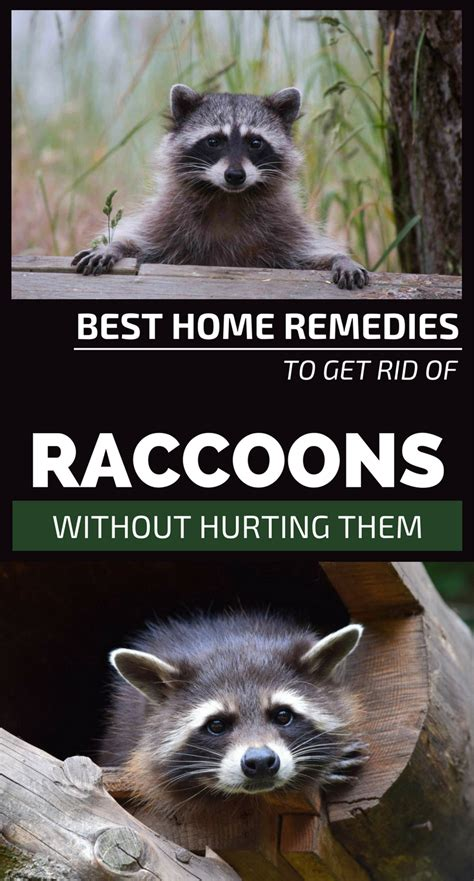 Best Home Remedies To Get Rid Of Raccoons Without Hurting