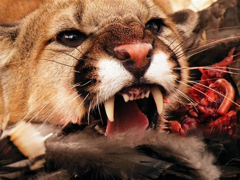 carnivore   National Geographic Society
