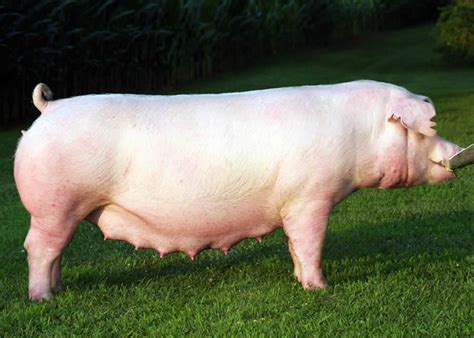 Pig breeds with notes - Veterinary Technician 101 with