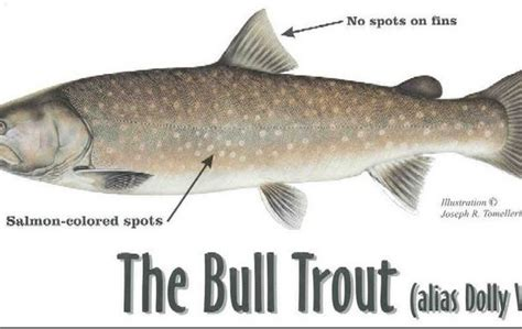 Bull Trout - Facts and Info | Troutster