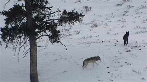 Winter in Yellowstone: Alone with Wolves in the Lamar Valley