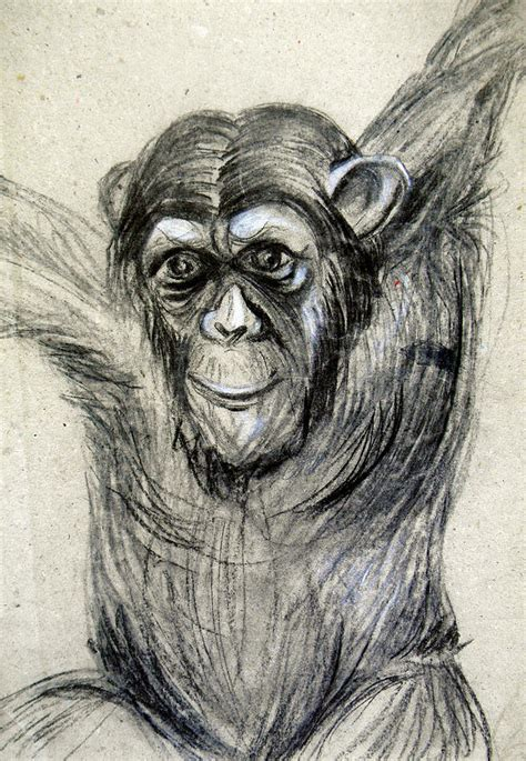 One Of A Kind Original Chimpanzee Monkey Drawing Study