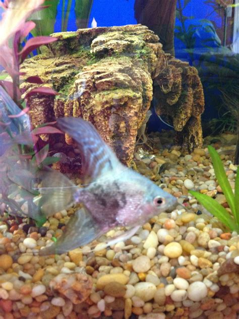 Is There A Chance Albino Angelfish Can Go Or Be Blind? Are