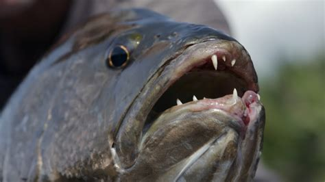 This Toothy Monster Has Been Terrorizing People In Papua