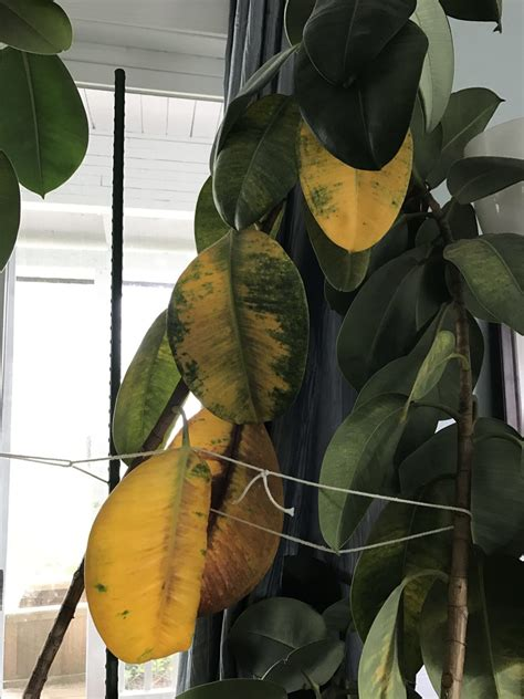 Rubber Plant Leaves Are Turning Yellow: Fixing A Rubber