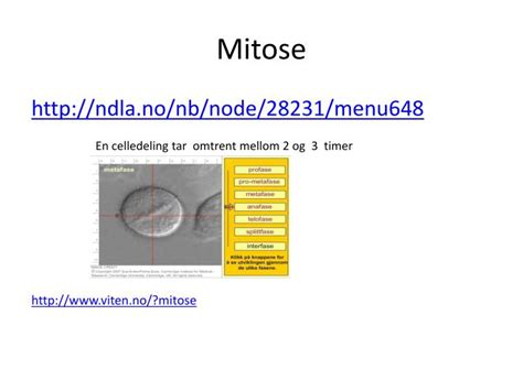 PPT - Celledeling: mitose PowerPoint Presentation - ID:3257030
