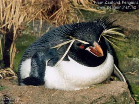 Our Beautiful World: Rockhopperpenguin, Eudyptes chrysocome