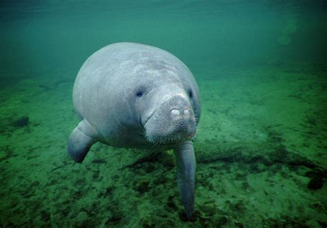 Manatees are no longer listed as endangered - Chicago Tribune