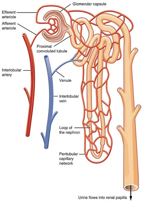 Renal Medulla: Definition & Function - Video & Lesson