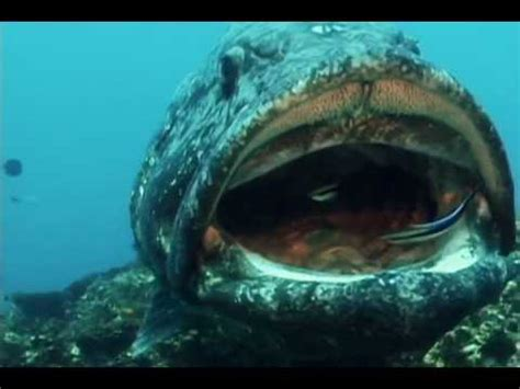 Cleaner Wrasse Cleaning up a Big Fish - YouTube