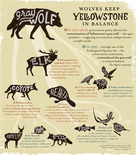 Infographic: Wolves Keep Yellowstone in the Balance
