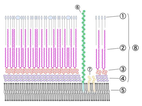 File:Mycobacterial cell wall diagram