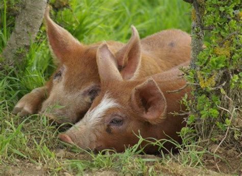 10 Facts about Duroc Pigs | Fact File