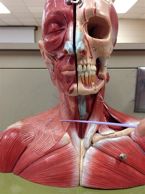 Lab 6: Axial Related Muscles (Trunk, Neck & Head
