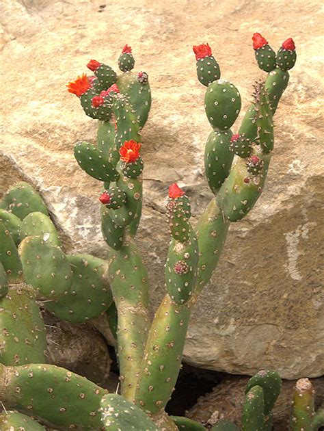 The Opuntiad Page - cactus Subfamily Opuntioideae